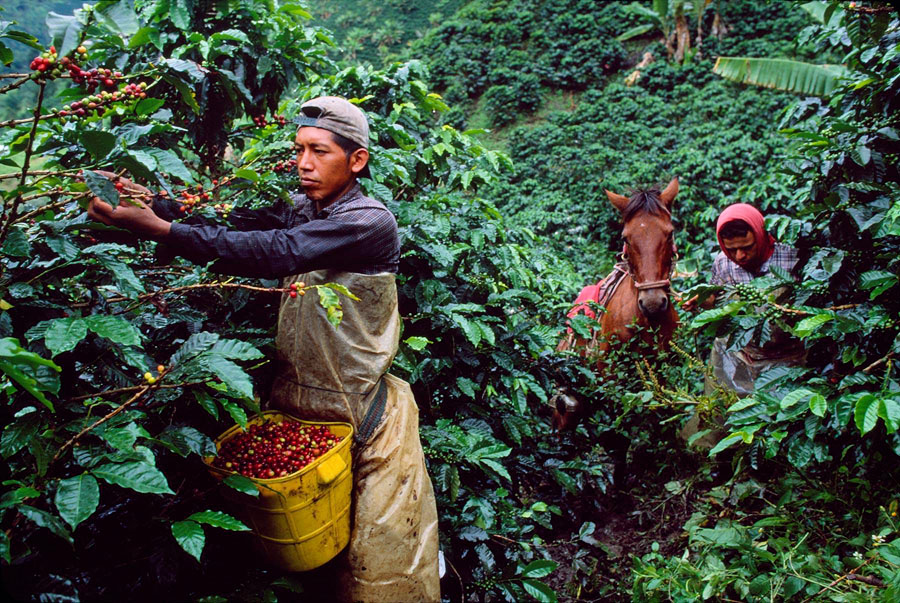 The-World-in-Your-Cup-Coffee-Harvesting-Colombia